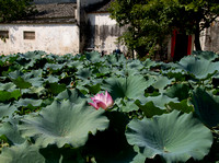Hongcun village: huge lotus leaves and a flower on the South Lake.