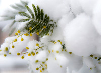 Mimoza (Acacia dealbata) in snow