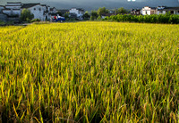 Guanlu village: rice field.