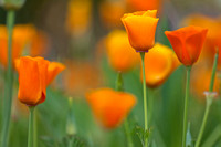 Californian poppy (Eschscholzia californica)