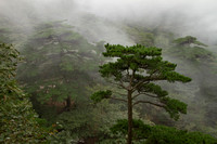 Pines in the clouds; Huangshan, China